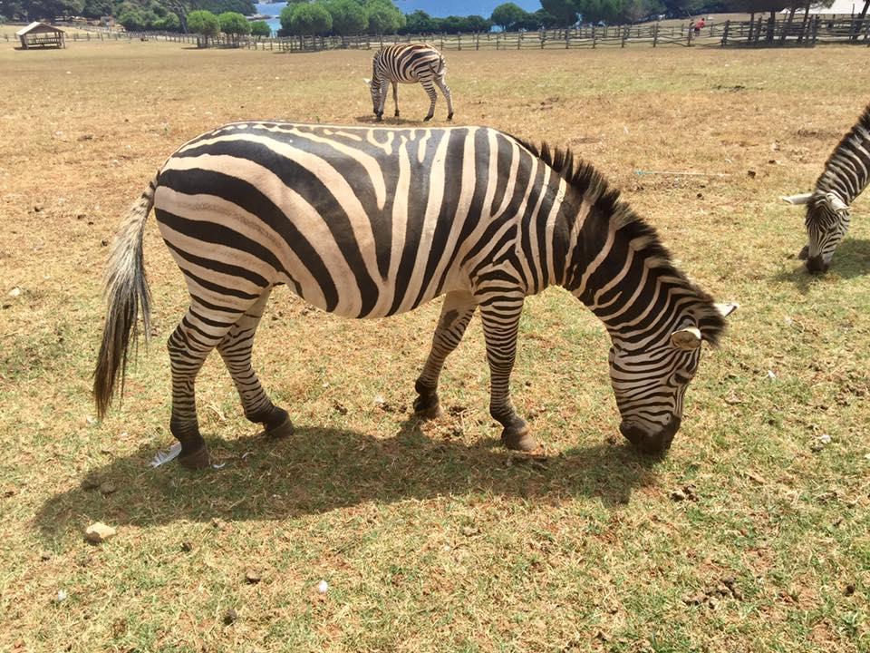 Zebre u Safariu